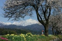 上市川左岸堤防の桜と剱岳