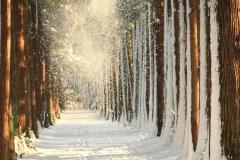 雪の舞うトガ並木(眼目山立山寺)